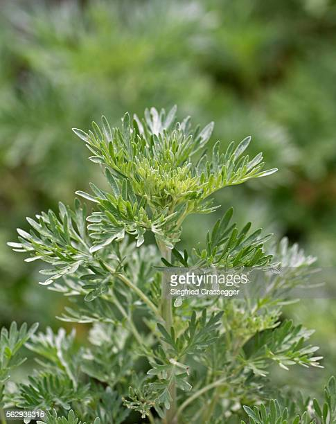 Wormwood or absinthium -Artemisia absinthium-, herb, leaves, Germany, Europe