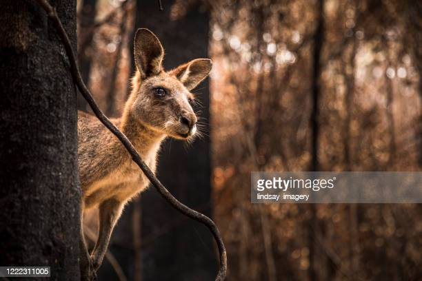worried looking kangaroo in burnt forest after bushfires - australia fire stock pictures, royalty-free photos & images