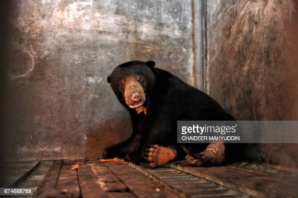 A wounded honey bear which was entangled by a wildboar trap is treated at a hospital in Banda Aceh Aceh province on April 29 2017 / AFP PHOTO /...