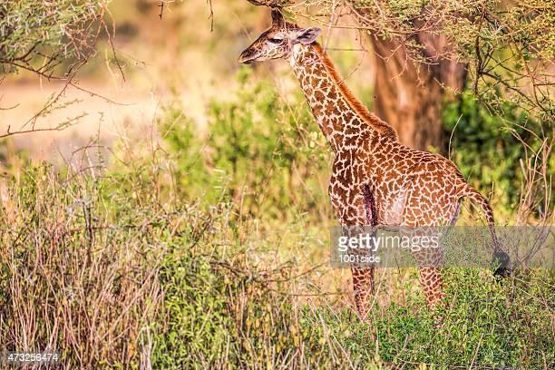 leso/lesioni giovane giraffa nella natura - ferita foto e immagini stock