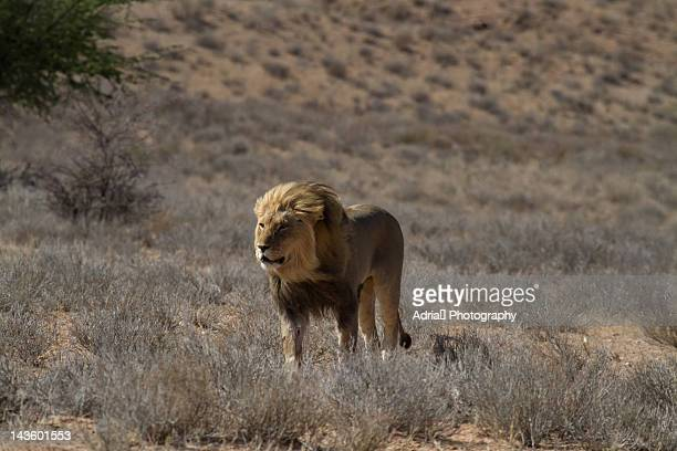 60 Top Bloody Lion Pictures, Photos and Images - Getty Images