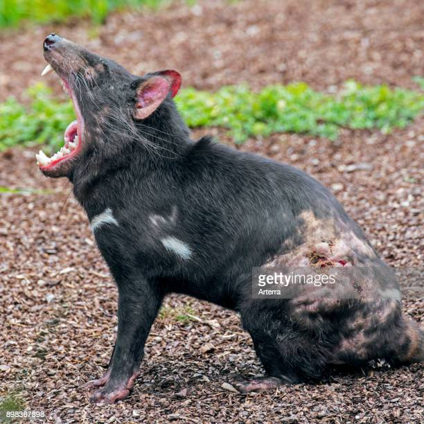 Wounded Tasmanian devil marsupial native to Australia covered in bitemarks and showing large teeth in wide open mouth