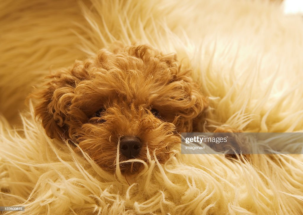 Wrapped up Poodle : Stock Photo