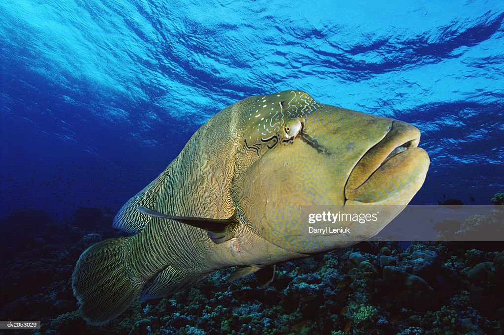 Wrasse, Red Sea, Egypt : Stock Photo