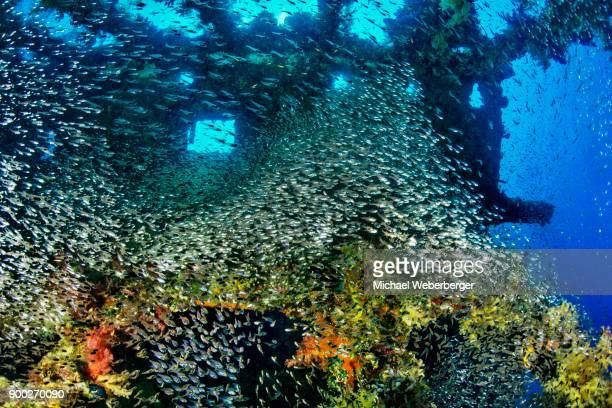 Wreck diving and glass or Pempherids, Chrisoula K., Container Ship, Shaab Abu Nuhas, Red Sea, Egypt
