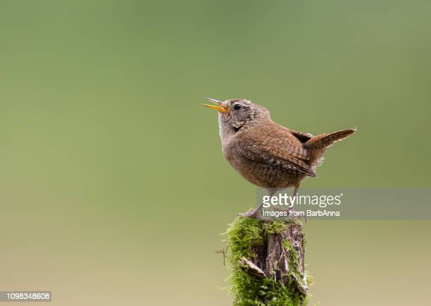 wren sitting on wooden post singing - anna song imagens e fotografias de stock