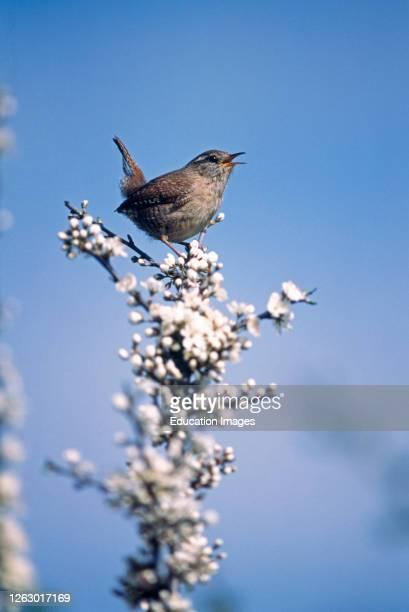 Wren, Troglodytes troglodytes, in song on Buckthorn, Kent, UK.