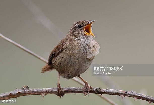 wren - troglodytes troglodytes - zangvogel stockfoto's en -beelden