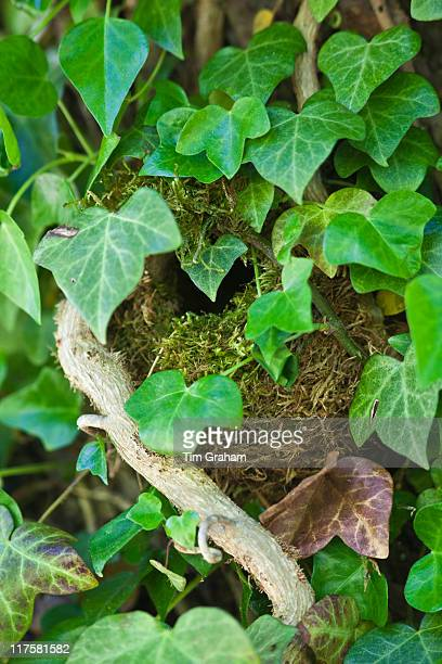 Wren's nest nestled secretly hidden among ivy leaves on a wall in The Cotswolds Oxfordshire England UK
