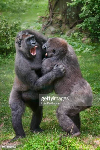 Wrestling Gorillas