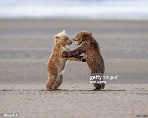 wrestling siblings - animal stock pictures, royalty-free photos & images
