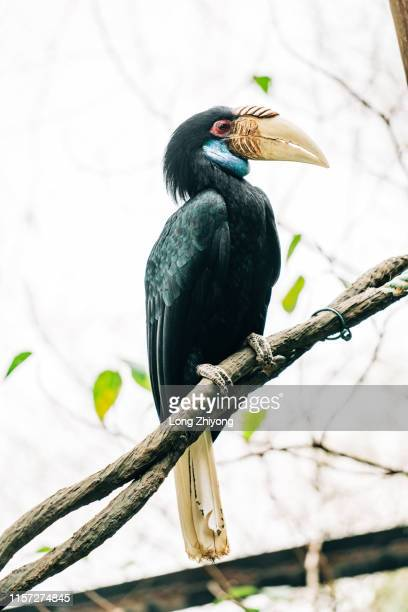 wrinkled hornbill - tropical bird stock pictures, royalty-free photos & images