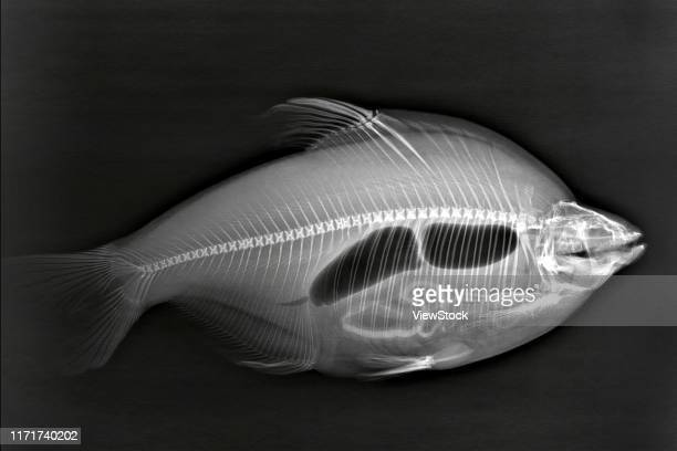 wuchang fish under x-ray, x-ray, wuchang fish, silhouette - fish x ray stock photos and pictures