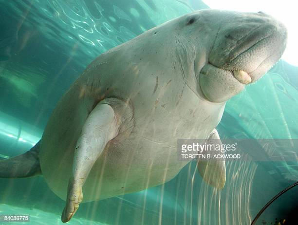 'Wuru' the dugong aquaints herself with the new Mermaid Lagoon exhibit at Sydney Aquarium on December 19 2008 The 17 million litre tropical water...