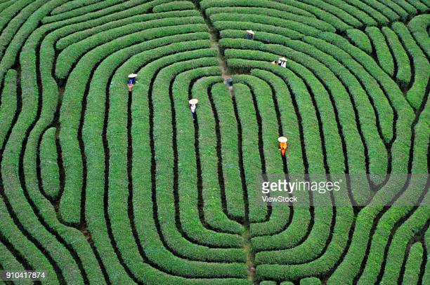wuyi mountain tea plantation in fujian province,china - physical geography stock pictures, royalty-free photos & images