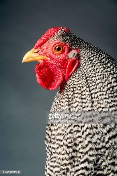 wyandotte chicken - schnabel stock-fotos und bilder