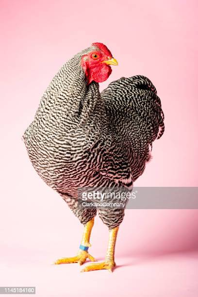 wyandotte chicken - chicken bird stock pictures, royalty-free photos & images