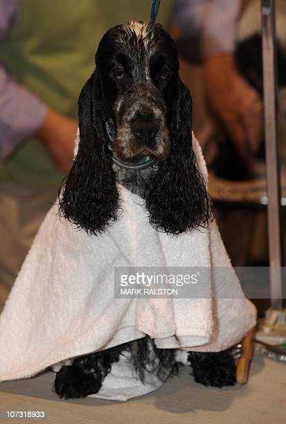 Wyatt the English Cocker Spaniel gets wrapped in a towel as he is groomed for the 10th annual AKC/Eukanuba National Dog Championship in Long Beach on...