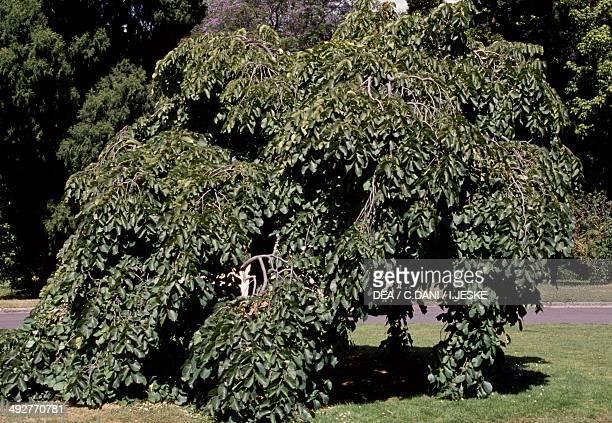 Wych Elm or Camperdown Elm Ulmaceae