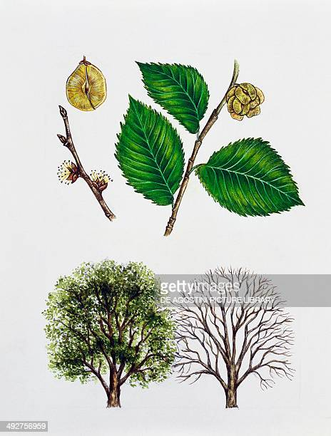 Wych elm or Scots elm Ulmaceae tree with and without foliage leaves flowers and fruits illustration