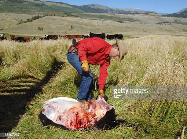 Wyoming Game and Fish Warden Herb Bubba Haley skins a calf that was attacked by a grizzly bear Haley has to cut the hide from each kill in order to...