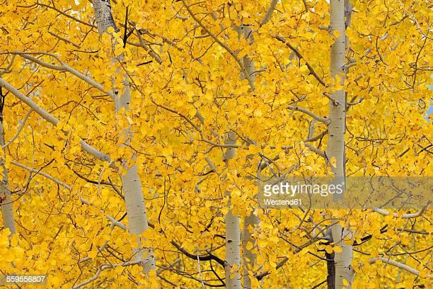 USA, Wyoming, Grand Teton National Park, aspen trees with autumn foliage