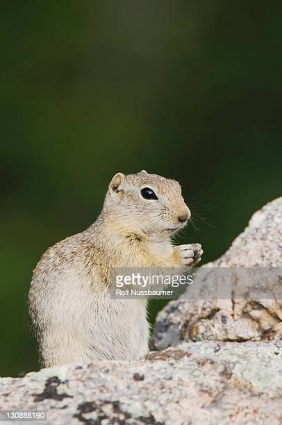 wyoming ground squirrel (spermophilus elegans), adult on rock, rocky mountain national park, colorado, usa - caenorhabditis elegans stock pictures, royalty-free photos & images