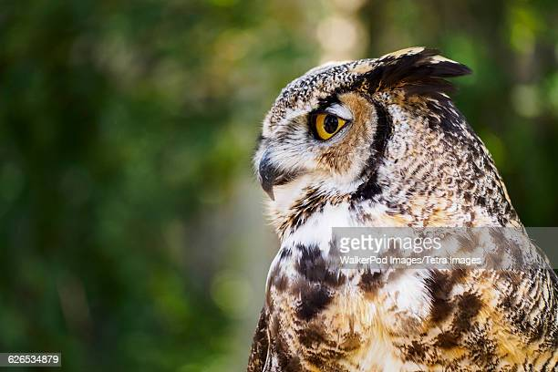 usa, wyoming, portrait of great horned owl (bubo virginianus) - great horned owl stock pictures, royalty-free photos & images