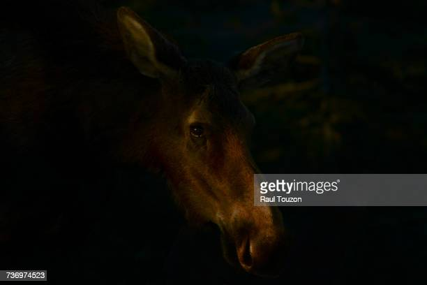 Portrait of a moose in Grand Teton National Park.