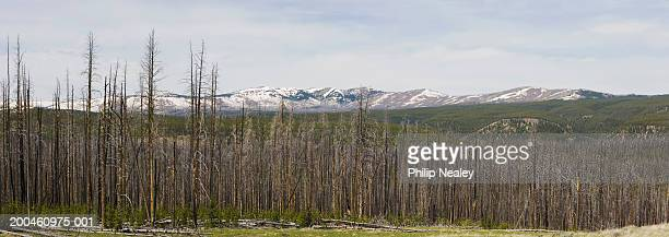 USA, Wyoming, Yellowstone National Park, burnt trees from forest fire