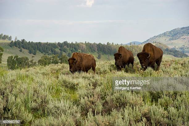 USA Wyoming Yellowstone National Park Lamar Valley Bison