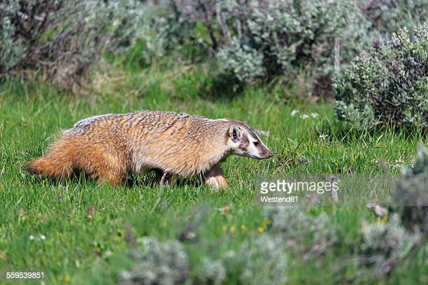 usa, wyoming, yellowstone nationalpark, american badger on a meadow - american badger stock photos and pictures