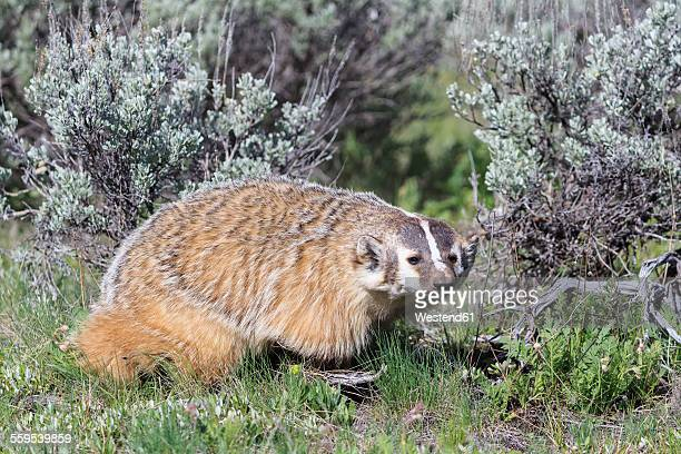 usa, wyoming, yellowstone nationalpark, american badger - american badger stock photos and pictures