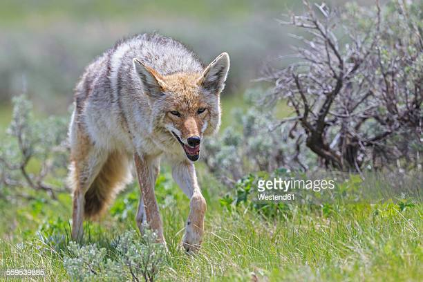 usa, wyoming, yellowstone nationalpark, coyote on a meadow - coyote stock pictures, royalty-free photos & images