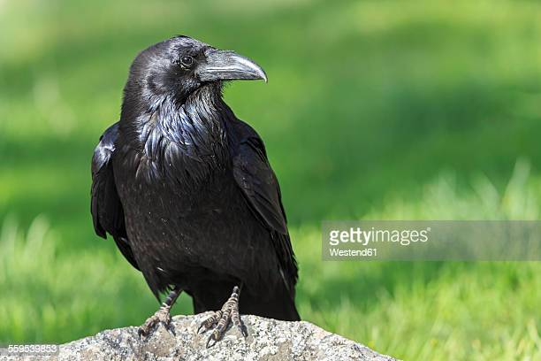 USA, Wyoming, Yellowstone Nationalpark, portrait of raven