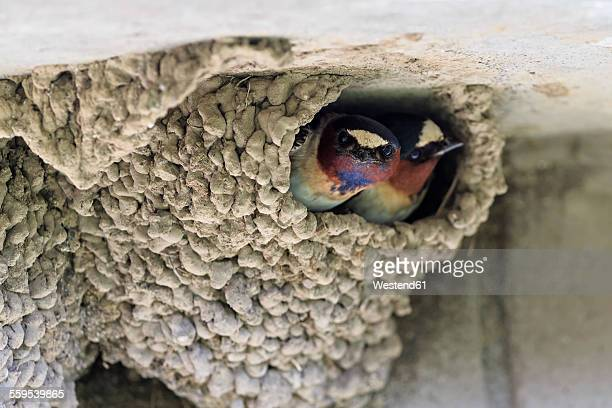 USA, Wyoming, Yellowstone Nationalpark, two American cliff swallows in nest