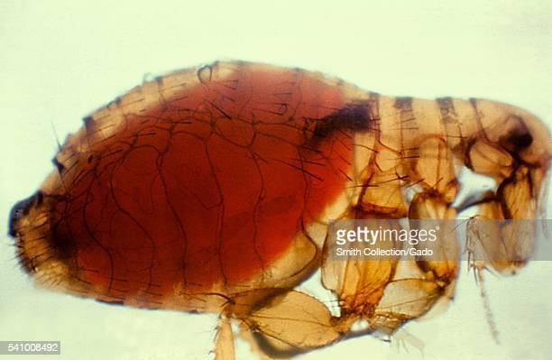 Xenopsylla cheopis Oriental rat flea with a proventricular plague mass 1981 During feeding the flea draws viable Y pestis organisms into its...
