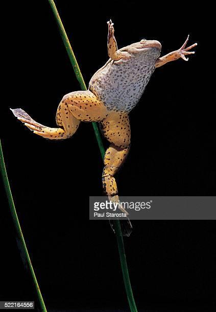 Xenopus laevis (African clawed frog, platanna)