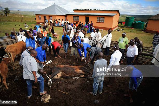 Xhosa men take part in a ceremony of slaughtering a cow in Qunuahead of the funeral of Nelson Mandela on December 13 2013 in Qunu South Africa...