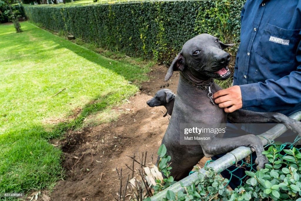 A Xoloitzcuintli Or Mexican Hairless Dog In The Garden Of Dolores