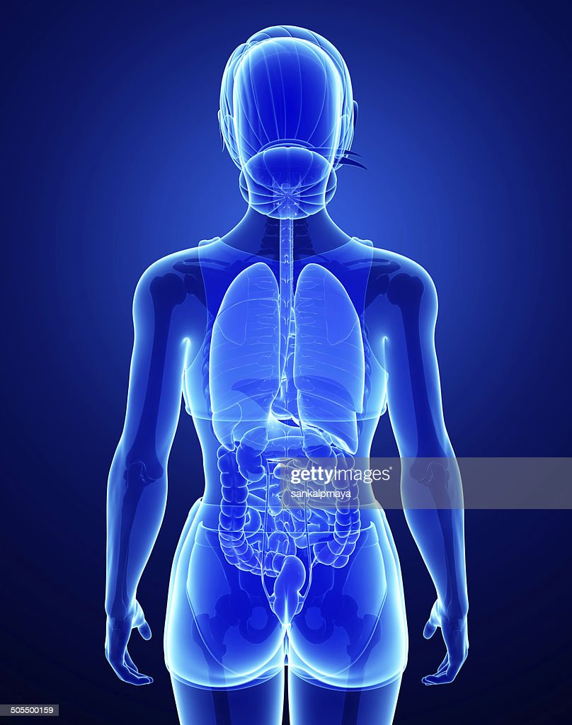 Xray Digestive System With Female Anatomy Stock Photo | Getty Images