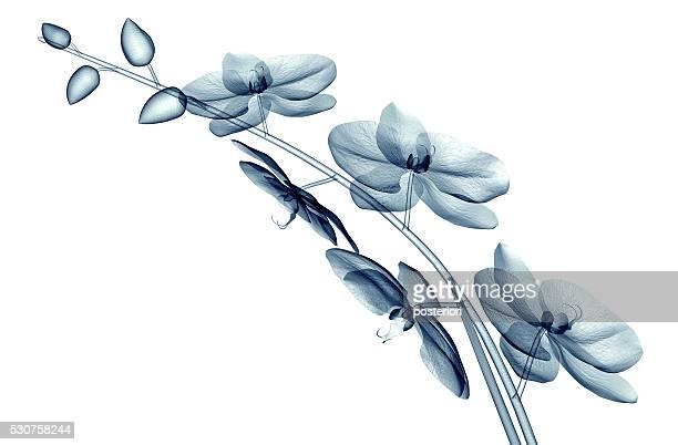 x-ray image d'une fleur seul sur blanc, le orchide