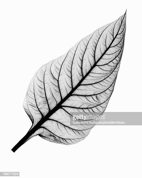 X-ray image of celosia leaf