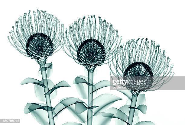 x-ray image of flower isolated on white , the Nodding Pincushi