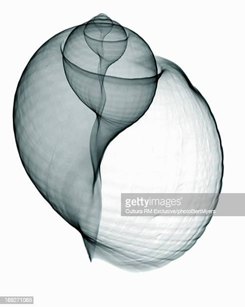 X-ray image of patridge tun seashell