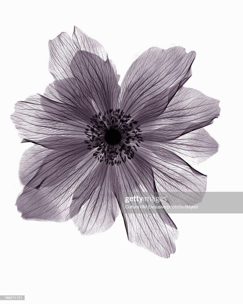 X-ray image of ranunculus flower : Stock Photo