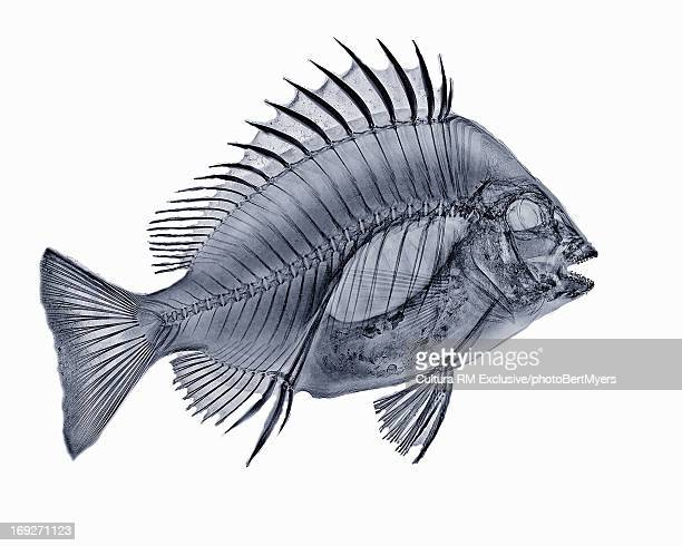x-ray image of sheephead fish - fish x ray stock photos and pictures