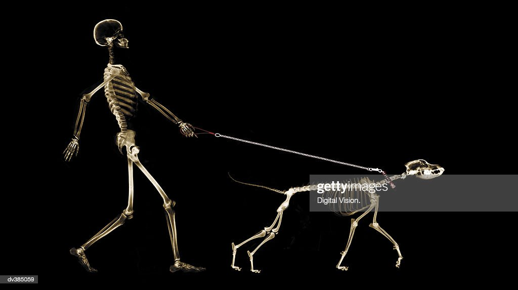 X-ray of dog on leash pulling master : Stock Photo