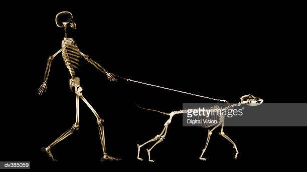 x-ray of dog on leash pulling master - animal bones stock photos and pictures