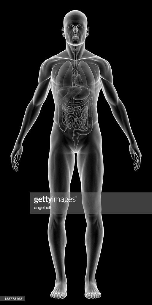 Xray Of Menschlichen Körper Mit Inneren Organen Stock-Foto | Getty ...